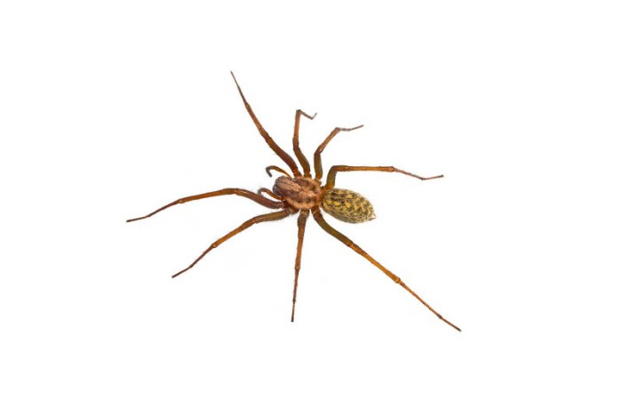 hobo-spider-scariest-spiders