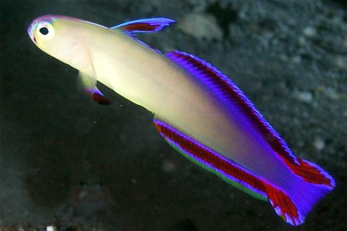 elegant-firefish-purple-animals