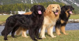 hovawart-german-breed-dogs