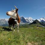 Jungfrau Region: Kuh auf Maennlichen