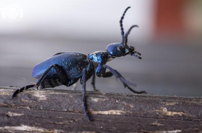 Der Inselfotograf - Rügen - Makro - Käfer