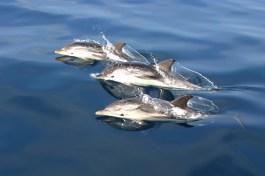 Streifendelfine (Foto: Rüdiger Hengl)