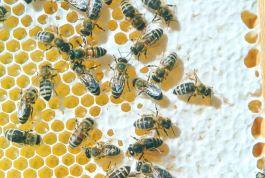 Bienen auf einer Honigwabe (Foto: Axel Hindemith)