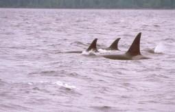 Orca-Familie (Foto: Frank Blache)