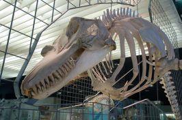 Gebiss eines Orcas (Foto: Wikipedia/EvaK)
