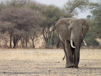 Afrikanischer Elefant (Foto: Rüdiger Hengl)