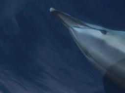 Gemeiner Delfin (Foto: Rüdiger Hengl)