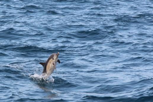 Ein Gemeiner Delfin macht Kunststücke. (Foto: Rüdiger Hengl)