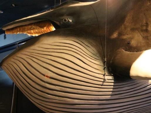 Modell eines Zwergwals (Foto: Frank Blache)