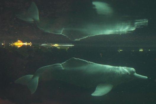 Flussdelfin Baby (Foto: Rüdiger Hengl)