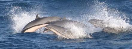 Borneo-Delfine