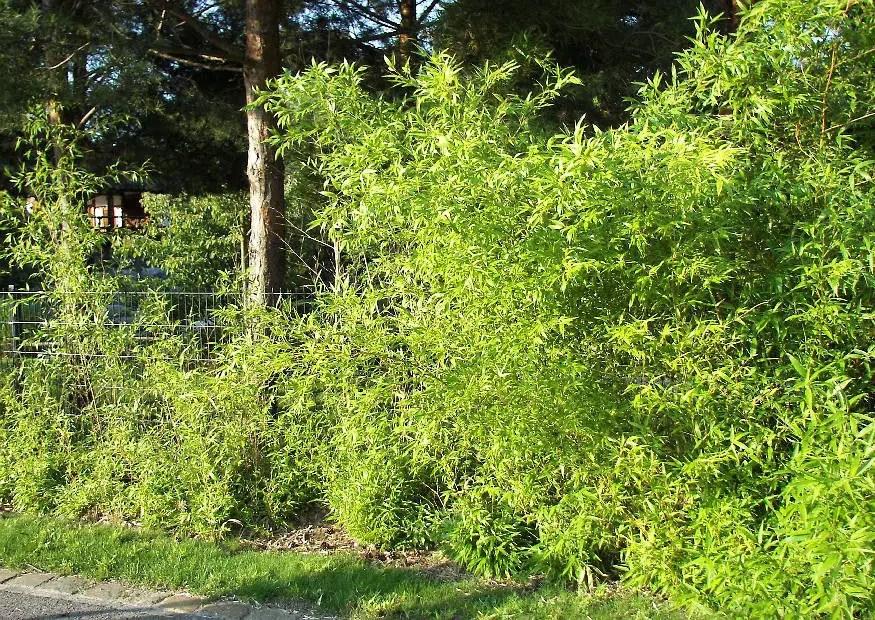 Bambushecke Als Sichtschutz