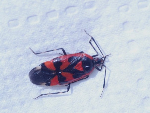 Rood-zwarte halsbandwants (Deraeocoris trifasciatus)
