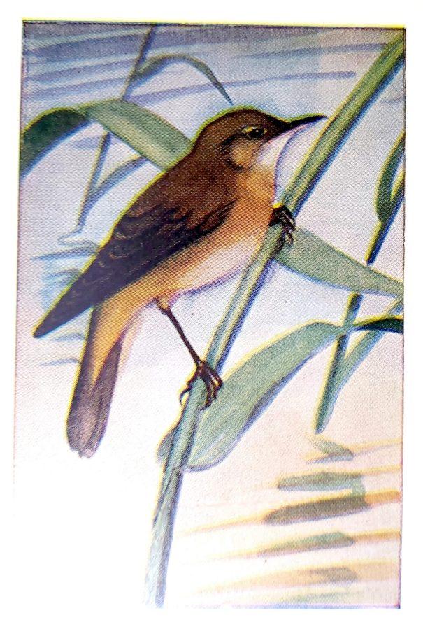 kleine karekiet (Acrocephalus scirpaceus)