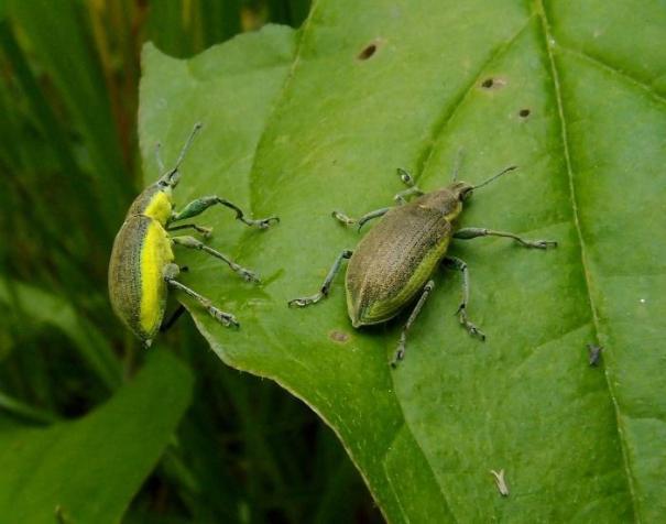 Groene distelsnuitkever (Chlorophanus viridis)