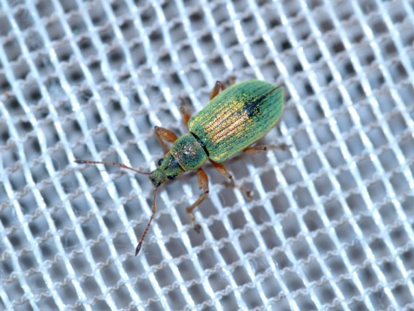 Groene bladsnuitkever (Phyllobius pomaceus)