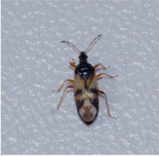 Voorjaarseikenblindwants (Harpocera thoracica)