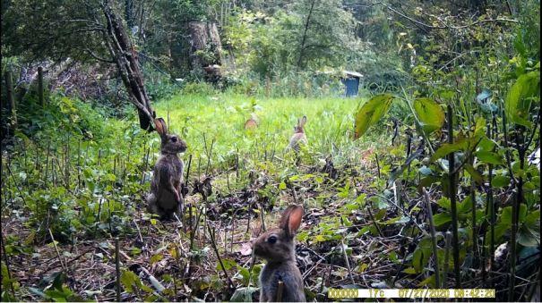 drie konijnen voor wildcamera