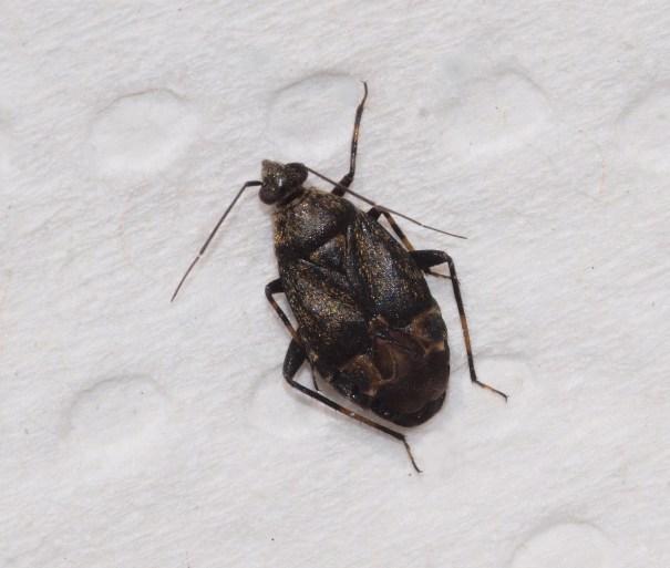 Zwarte walstrowants (Polymerus nigrita)