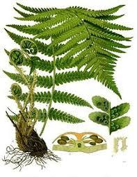 Mannetjesvaren Dryopteris filix-mas)