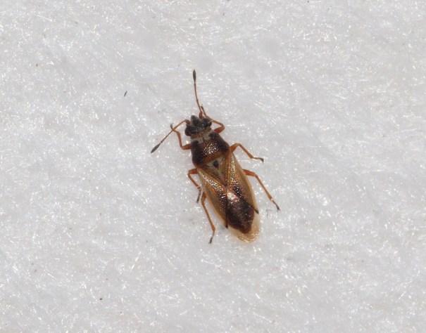 Zwartkopcymus (Cymus melanocephalus)