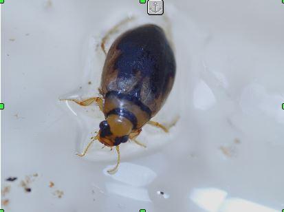 Modderkever (Hygrobia hermanni)
