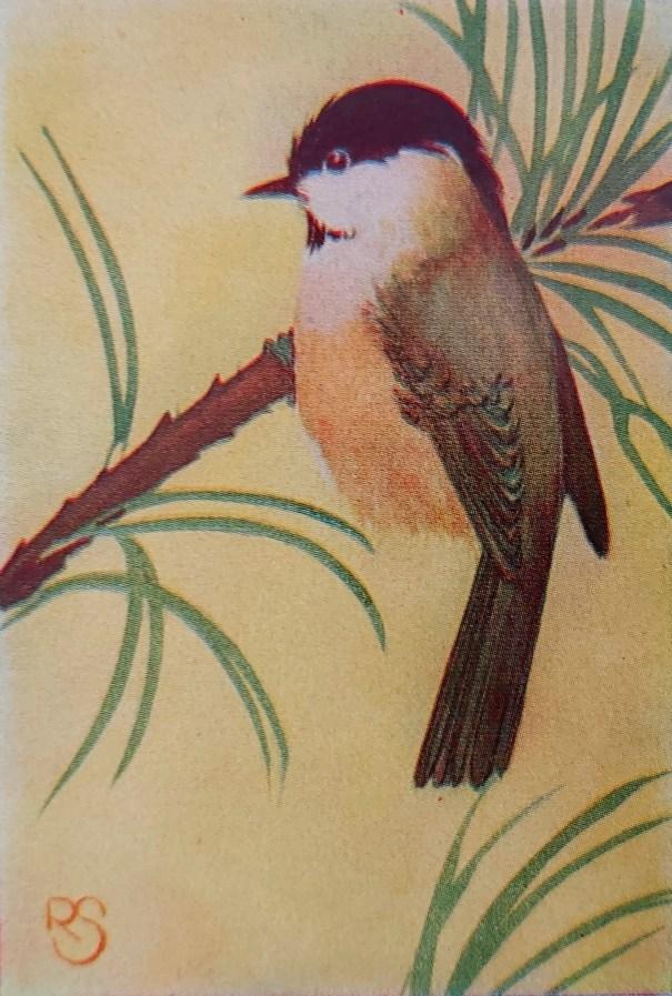 Matkop (Poecile montanus)