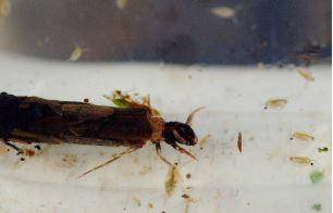 Kokerworm onbekend