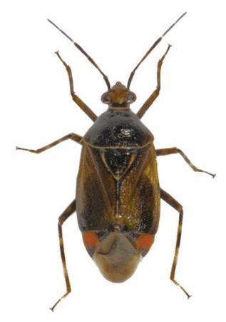 Esdoornhalsbandwants Deraeocoris flavilinea