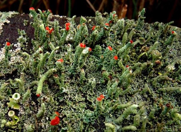 Rode heidelucifer (Cladonia floerkeana)