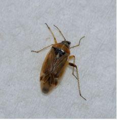 Voorjaarseikenblindwants(Harpocera thoracica)