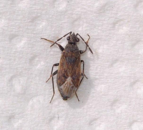 Sombere dartelwants(Peritrechus geniculatus)