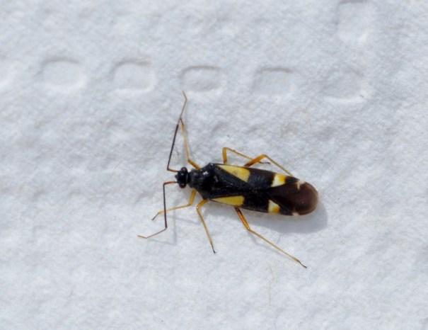 Gele viervlekwants(Dryophilocoris flavoquadrimaculatus)