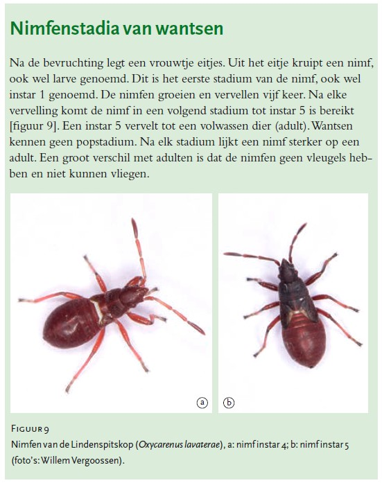 Lindenspitskop, (Bron: natuurhistorisch maandblad)