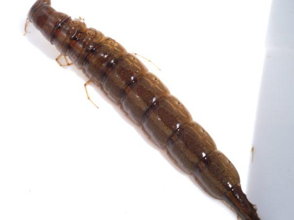 Tuimelaar (larve)