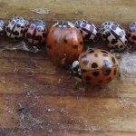 overwinterende lieveheersbeestjes