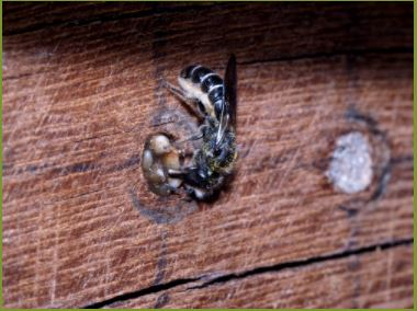 Ranonkelbij(Chelostoma florisomne)