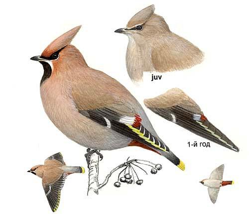 Pestvogel Pestvogel Bombycilla garrulus