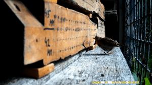 roodborst (Erithacus rubecula) jong