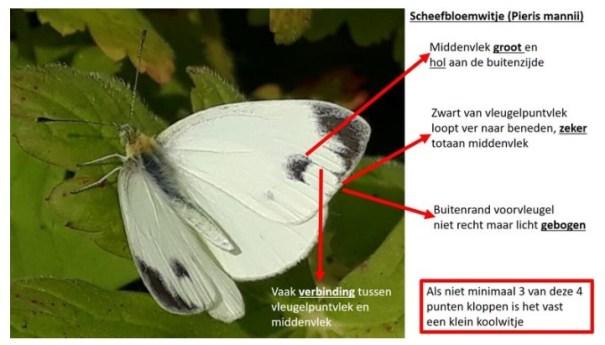 Scheefbloemwitje (Pieris mannii)
