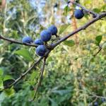 Sleedoorn Prunus spinosa