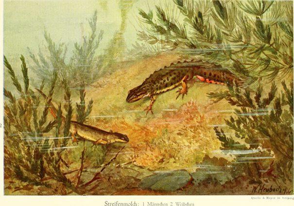 watersalamander - Lissotriton vulgaris