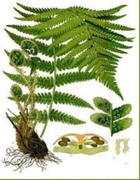 Mannetjesvaren (Dryopteris filix-mas)
