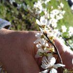 Kerspruim (Prunus cerasifera)