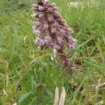 Groot hoefblad (Petasites hybridus)