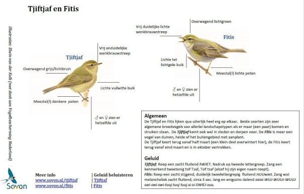uitleg vogelherkenning Tjiftjaf en Fitis