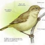uitleg vogelherkenning tjiftjaf
