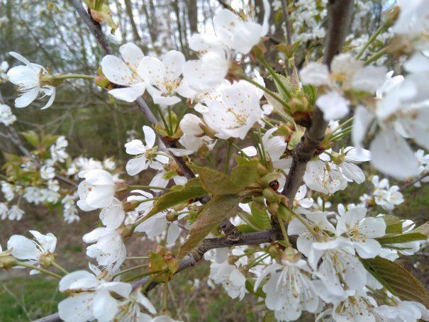 Zoete kers (Prunus avium)