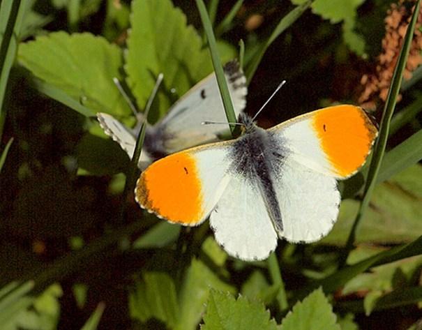 Oranjetipje (Anthocharis cardamines) foto Will van Berkel