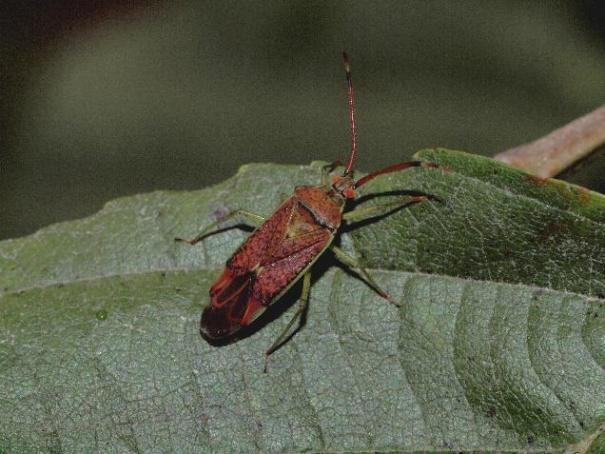 Stippelblindwants (Pantilius tunicatus)